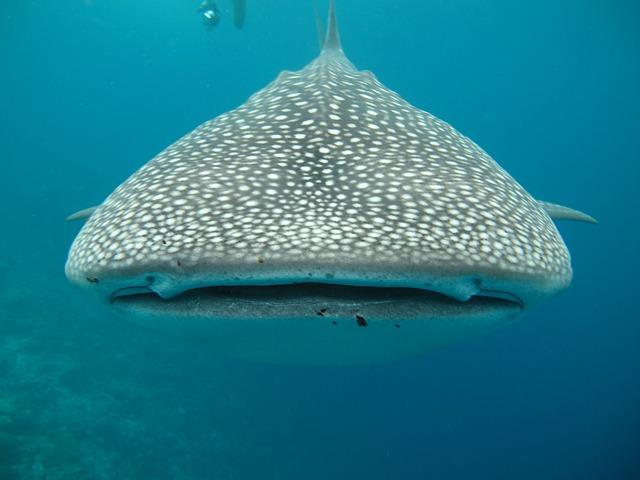 Philippinen Tauchen oder Schnorcheln mit Walhaien