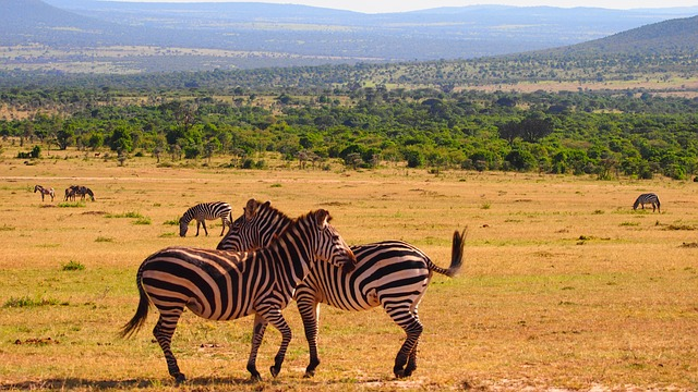 zebra savanna kenia afrika backpacking